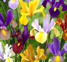 5 Dutch Iris bulbs Bi-Color Mix-Bronze Queen,Oriental Butterfly,Mystic Beauty,Red Ember,Tigers Eye+M Summer Plants, Fall Plants, Shade Flowers, Spring Flowers, Calgary, Tall Clear Vases, Dutch Iris, Pond Plants, Root System