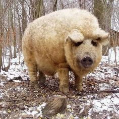 Funny pictures about The Mangalitsa Pig That Resembles Sheep. Oh, and cool pics about The Mangalitsa Pig That Resembles Sheep. Also, The Mangalitsa Pig That Resembles Sheep photos. Wooly Pig, Sheep Pig, The Wooly, Farm Animals, Animals And Pets, Cute Animals, Strange Animals, Mangalitsa Pig, Pig Breeds
