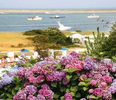 Hydrangeas on Cape Cod
