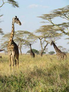 Seregeti national park, Tanzania, Africa