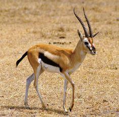 Gazelle in Kenya Photographer did not identify, it looks ...