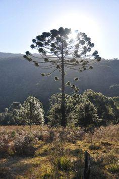 Bela araucária no Vale do Matutu - MG - 16-06-2010 - 1000 dias