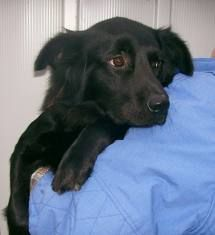 Borderline collie retriever border flat coated retriever border collie