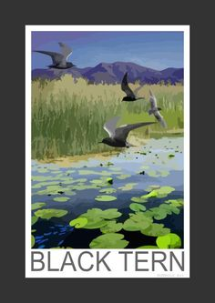 Black Terns hunting over a lily covered lake (Art Print)