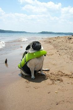 Pug at the beach.Pugs are such proud animals! Animals And Pets, Baby Animals, Funny Animals, Cute Animals, Pug Pictures, Animal Pictures, Pug Love, I Love Dogs, Gato Animal