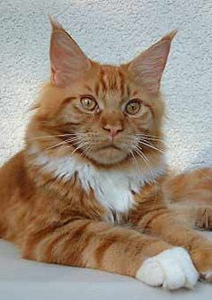 #MaineCoon #RedSolid&White #Cats Orangello of Wild Bumble Bee. Breeder: Martina Rhietig http://www.mainecoonguide.com/what-is-the-average-maine-coon-lifespan/