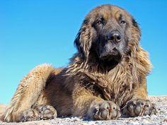 Conheça a raça Cão da Serra da Estrela