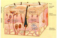 Histologia- Anexos da Pele