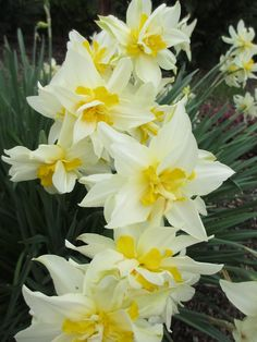 Daffodils.  My favorite flowers.  When I see them each spring, I am filled with hope.