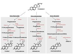 Adrenal Steroid Hormone Synthesis -See how to lower cholesterol naturally at: http://vitamins.vitanetonline.com/