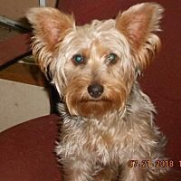 Pet Adoption has dogs, puppies, cats, and kittens for adoption. Adopt a pet Yorkshire Terrier Haircut, Yorkshire Terrier Puppies, Cute Puppy Breeds, Cute Puppies, Yorkie Puppy, Chihuahua, Yorkie Cuts, Yorkie Haircuts, Hagerstown Maryland