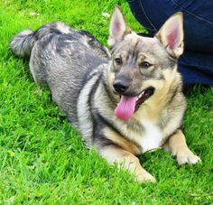 This dog is so cute! It's a Swedish Vallhund... it looks like it's related to a Corgi!