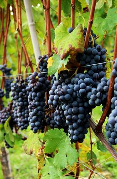 grapes in Langhe, Piemonte. Italy