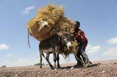 Donkey: reliable, courageous partenaine, but abused In southern countries, from India to Mali, through the plateaus of Ethiopia, the household food security requires agricultural, technical and social innovations. By taliscope.com -------------- Âne: partenaine fiable, courageux, mais abusé Dans les pays du Sud, de l'Inde au Mali, en passant par les plateaux d'Ethiopie, la sécurité alimentaire des familles exige innovations agricoles, techniques et sociales Par taliscope.com