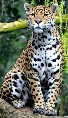 ♡ Beautiful Leopard