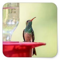 Buff-bellied hummingbird in Texas Square Sticker