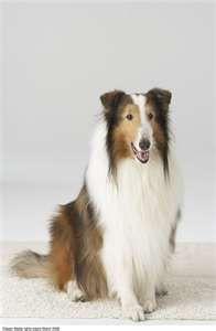 Lassie!