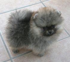 Pomeranian with Wolf-Spitz markings looks like a tiny Keeshond