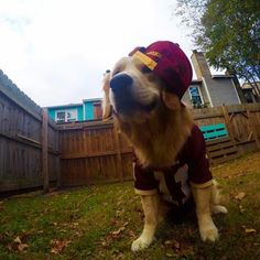 Bali the golden has some great #Redskins style.