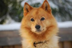 FINNISH SPITZ, Known as Finland's national dog, Finnish Spitz is a hunting dog then and now. This proud dog is likewise called Suomenpystykorva (meaning Finnish Pricked Ear Dog), Finnish Barking Bird Dog