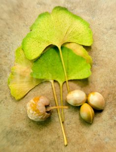 Ginkgo biloba Fall Leaves with Seeds | Mira Images