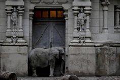 Слон стоит в дверях своего вольера в бывшем городском зоопарке в Буэнос–Айресе, Аргентина.  Первый директор зоопарка решил, что животные должны размещаться в зданиях, отражающих их страны происхождения. Для азиатских слонов была построена копия индуистского храма.