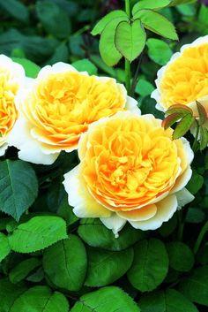 シャルロット・オースチン【イングリッシュローズ】やわらかなイエローと、カップ咲きの花が愛らしい品種です♪【楽天市場】