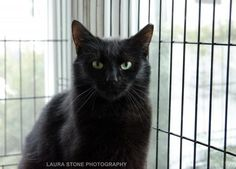 BALTHAZAR Breed: Domestic Short Hair-black Gender: Male Size: Large Age: Adult Location: Coventry, CT Shelter: Kitty Angels of Connecticut Inc Balthazar is such a handsome boy, and lucky, too. He showed up on the shelter grounds at Christmas time, and dodged coyotes and other wild animals until we could trap him. Once inside, he turned out to be a loveable, friendly guy who does well with other cats and dogs. He would be best in a quiet home with another cat for a companion. He is about 2…