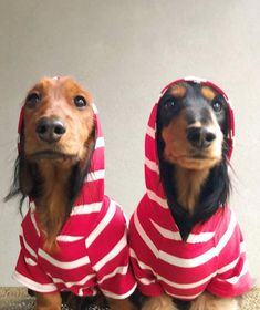 """Determine more information on """"dachshund puppies"""". Have a look at our site. Dachshund Breed, Wire Haired Dachshund, Funny Dachshund, Dachshund Love, Funny Dogs, Daschund, I Love Dogs, Cute Dogs, Hunting Dogs"""