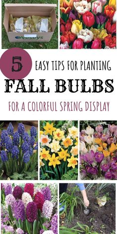Do you want to add continuous colorful blooms to your spring garden? Find out the best no-fail tips on how to plant fall bulbs! 5 easy tips for planting fall bulbs for a colorful spring display Fall Garden Vegetables, Flower Garden, Autumn Garden, Plants, Bulb Flowers, Fall Bulb Planting, Planting Tulips, Bulbs Garden Design, Home Vegetable Garden