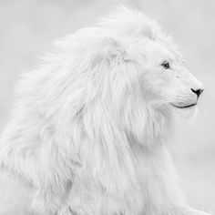 Legend has it the Great White will do no harm  to Man or Beast as long as he remains King Of the Jungle and his first offspring  recovers the pigment the spirits denied him. The river of blood will overflow should the curse go unbroken.  (Adeline Noble)