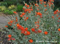 Plant This: Gray globemallow lights up the garden | Digging