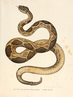 Vintage Snake Posters printed on metal by Emily Pigou. Pet snake, Snake Lovers, Herpetology scientists will love this as a gift! In size M-L-XL. Click and buy yours on store today! Snake Drawing, Snake Art, Pet Snake, Oroboros Tattoo, Reptiles, Carte Harry Potter, Poster S, Poster Prints, Rattlesnake Tattoo