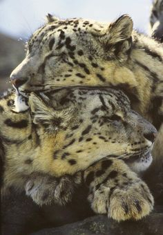 I saw these 2 Snow Leopards like this one day at Stone zoo and I thought it would make a beautiful image ! Big Cats, Cool Cats, Cats And Kittens, Beautiful Cats, Animals Beautiful, Animals And Pets, Cute Animals, Grand Chat, Vida Animal