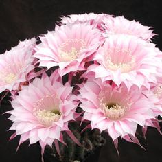 Echinopsis hybrid Troubadur Rheingold 207