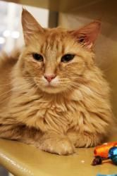 Simba is an adoptable Tabby - Orange Cat in Scottsdale, AZ. Our beautiful Simba kitty was found wandering outdoors, scared and hungry. She was running up to everyone she saw in a parking lot meowing f...    This could be Xander from Hidden Heat.  (Hope Simba found a home and is well and safe)