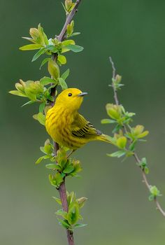 ~~Yellow Warbler by Wes Aslin~~