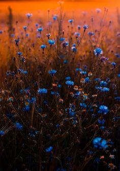 Tilt Shift Lens Photo of Blue Flowers · Free Stock Photo Nature Aesthetic, Flower Aesthetic, Blue Aesthetic, Iphone Background Wallpaper, Tumblr Wallpaper, Nature Wallpaper, Flowers Background Iphone, Fall Backgrounds Iphone, Apple Wallpaper