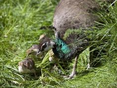 Raising peafowl chicks is not dissimilar to raising chickens. If you have the peahen, she'll take care of her brood; all you really need to do is provide suitable food and keep the housing clean. If you decide to raise the chicks yourself, you have more work to do, but the birds will bond more strongly with you.
