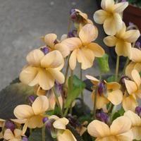 Viola odorata 'Vanilla White' - Duftviol, sartgul