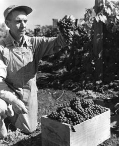 Frank A. Johnson admires a bunch of his well-grown grapes (Concord variety) in Salem, Oregon, circa 1935 Salem Oregon, Dark Photography, Chef Jackets, Cool Style, How Are You Feeling, History, Depression, People, Men