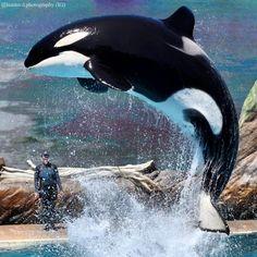 Orcas Seaworld, Undersea World, Water Animals, Killer Whales, Beautiful