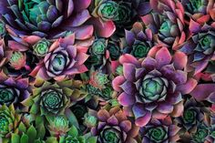 Image result for hens and chicks succulent