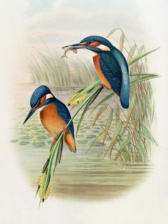 Alcedo Ispida Plate From The Birds Of Great Britain By John Gould Print By John Gould William Hart. ~Der Eisvogel~
