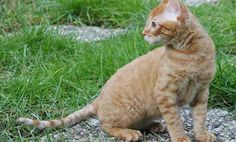 German Rex On the verge of extinction in the 1970s, the German Rex is experiencing a revitalization in its native Germany and neighboring European countries. Like its relative the Cornish Rex, the feline is intelligent and playful.