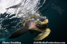 Aaron Goulding Photography 1973 Prospect st. La Jolla Ca 92037 I love Greeen Sea Turtles AAron Goulding Photography #animallovers