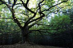 Suomen kauneimmaksi puuksi tituleerattu Paavolan tammi löytyy Lohjalta, Lohjansaaren eteläosasta. Finland Travel, Other Countries, Places To See, Travel Tips, To Go, Hiking, Green, Plants, Witch
