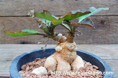 Euphorbia moratii ユーフォルビア・モラティー
