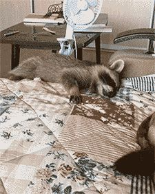 Share this Raccoon and dog best friends Animated GIF with everyone. Gif4Share is best source of Funny GIFs, Cats GIFs, Reactions GIFs to Share on social networks and chat.