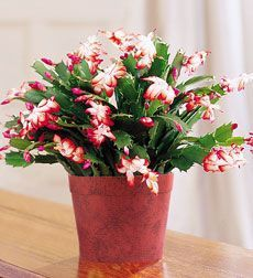 Christmas Cactus, http://www.peoplesflowers.com/christmas/christmas-cactus-albuquerque-florist
